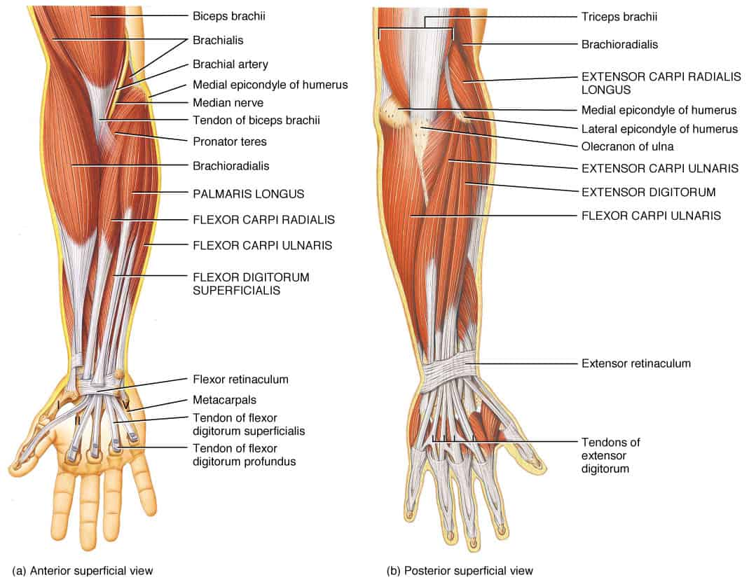 Carpus bones pinterest coloring muscle and hand anatomy - Examining The Forearms Post Competitive Insight 1447074703arm And Hand Anatomy Monardofo Image Collections